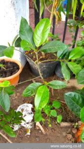 pohon cempedak yang mulai tumbuh